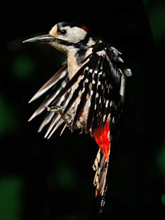 greater spotted wood pecker